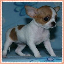 ...里出售几百块钱吉娃娃犬南京哪里卖健康吉娃娃南京最便宜吉娃娃啥...
