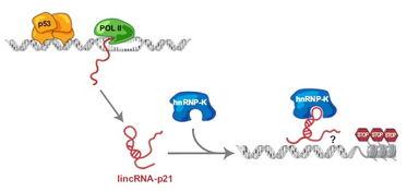 长链非编码RNA
