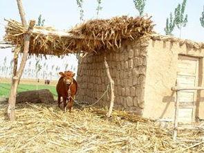 牛,这个农民的忠实伙伴显得悠然自得.-非常时期的宁夏农村生活