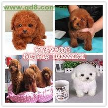 广州哪里有卖贵宾犬标准型贵宾的价格多少玩具型的呢
