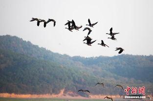 ...10日,大批冬候鸟飞抵江西鄱阳湖都昌马影湖候鸟保护区.江西鄱阳...