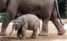 吧雷舞性生活-罕见的大象性爱 异常艰难 的交配过程 科学探索