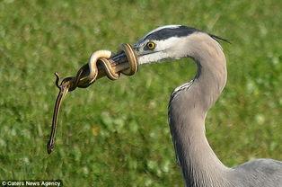摄影师发现一条蛇在苍鹭12英寸的嘴巴上缠成一个圈,还在不停翻滚着...