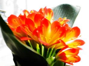 描写鲜花绽放的诗句-兰花开放姿百态 诗配画  笑迎朝阳