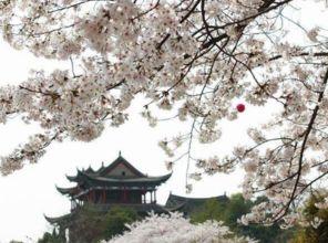 武大樱花节樱花大道最佳取景拍摄角度