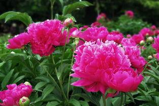 芍儿花-西方的情花玫瑰是带刺的,中国的情花芍药即美丽又大方.   粉红色的...