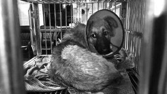 狗攻人受漫画-回一条受了伤的狗狗.在救治狗狗后,爱狗人士在网上发微博指责伤害...