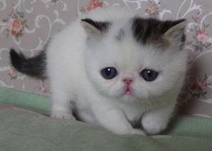 加菲猫多少钱一只