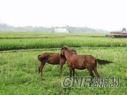 田间悠闲的马匹-绿色生态架起农民和谐致富的道路