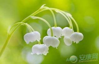 4月23日生日花语 风铃草