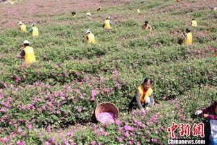 月的采收期间,附近很多留守妇女就地上岗,帮助基地采摘玫瑰花,每...