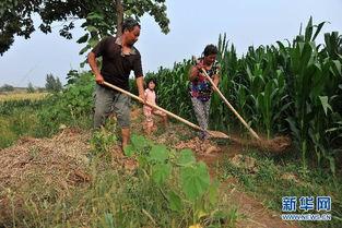 五月丁香啪啪网-8月4日,在山西省运城市芮城县涧东村,村民在引水浇灌玉米地.    ...