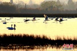 高清 江西鄱阳湖进入最佳观鸟季节