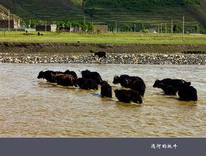 ...摄影作品 牦牛过河