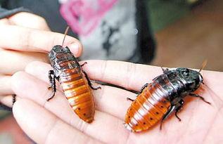 虎纹蟑螂   秘鲁巨人蟑螂   一只几十块钱的马达加斯加发声蟑螂