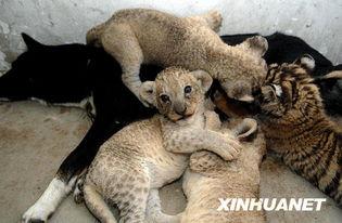 """村上里沙 和2只狗番号-7月26日,在合肥野生动物园内,""""狗妈妈""""给小老虎和小狮子哺乳...."""