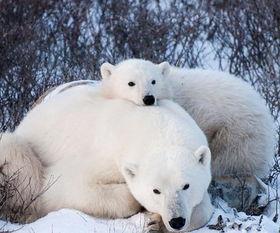 ...,北极熊等极地动物濒临灭绝.-加拿大设北极熊省级公园 游客可与...