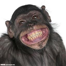 大笑的猴子图片素材 图片ID 883096 陆地动物 动物图片