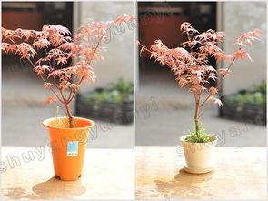 日本红枫 高35 40cm 不含盆 四季火焰枫 迷你小盆栽 办公室800g