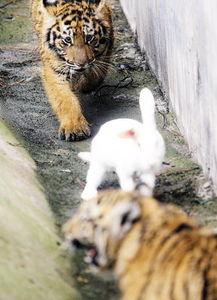 寅卯相逢兔子耍老虎