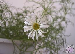 五色菊的第一朵花