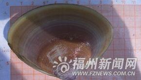 9厘米的漳港海蚌-长乐漳港海蚌取突破