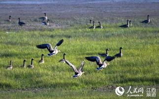 ...0月15日,在鄱阳湖湿地拍摄的冬候鸟.(傅建斌摄)-高清组图 鄱阳...