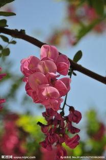 紫槐树的眼泪-紫槐图片