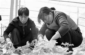 日前,留守妇女在汤阴县白营镇恒信专业种植合作社大棚里为甜瓜整枝...