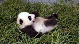 赠台熊猫幼崽挺肚子挥手脚 学翻身超逗趣