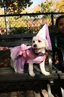 趣图分享 万圣节里可爱的狗狗装扮