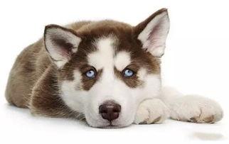 哈士奇-狗狗品种大全及图片