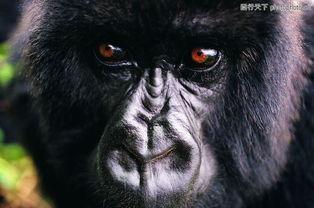 猩猩和类人猿0089 猩猩和类人猿图 动物图库