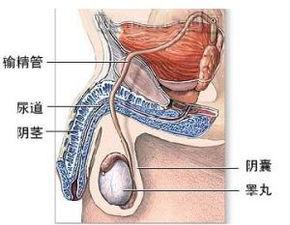 睾丸发育不全 图片百科
