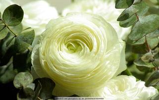 怎样种植百合花使之绽放美丽?