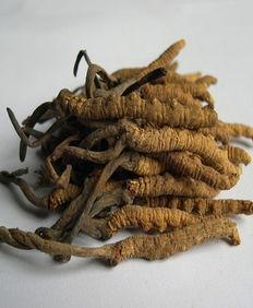 冬虫夏草最佳吃法推荐,萃取虫草素吃更安全