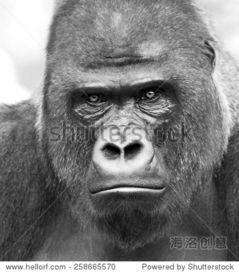 ...猩在灰色背景 类人猿的眼神,最危险的和世界上最大的猴子 的一个大...