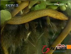 葡萄架下养黄鳝的方法