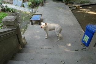 的声音,但从这狗夹尾巴的动作来看,它其实内心很害怕~