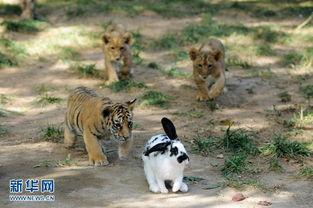 kigurumi神木林兔子-9月26日,在山东省青岛市森林野生动物世界,小狮虎们在追逐小白兔...