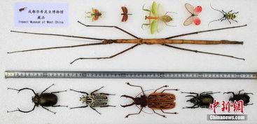 ...6日,成都华希昆虫博物馆公布了发现昆虫新物种消息.此次公布发...