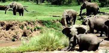 肯尼亚象群过河 急流中协力搭救溺水小象