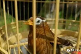 野生画眉鸟怎么养