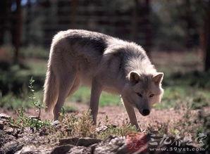 50厘米,体重30~40公斤,雌者较小.外形与狗相似,但吻略尖,耳直...
