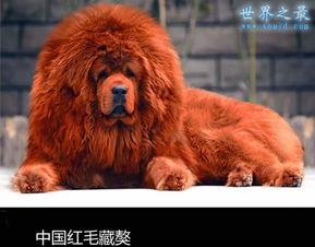 世界上最贵的狗排名,中国红色藏獒1000万