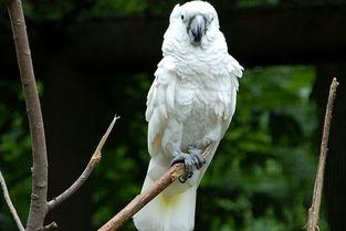 雨伞凤头鹦鹉 白凤头鹦鹉 价格 多少钱 寿命 叫声 图片 说话