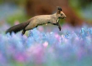 花荫露- 小松鼠在花间欢跳着觅食 据外媒报道,近日,在日本北海道浦臼町的...