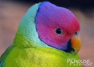 紫红头鹦鹉价格