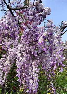 灰褐色的藤蔓如游龙般蜿蜒,幽婉非常.阳光斑驳跌落,在紫藤架下捧...