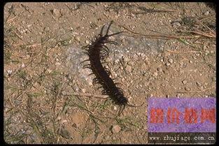 加拉帕格斯巨人蜈蚣的介绍